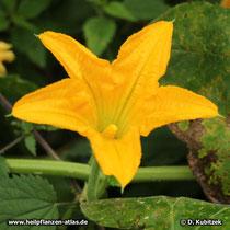 Steirischer Ölkürbis (Cucurbita pepo var. styriaca), Blüte