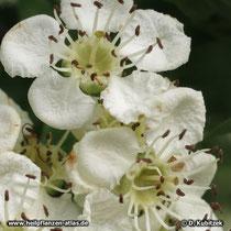 Die Blüten des Eingriffeligen Weißdorns (Crataegus monogyna) haben einen Griffel.