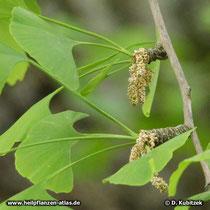 Ginkgo (Ginkgo biloba) männliche Blüten (verblüht)