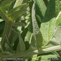 Artischocke (Cynara cardunculus), Blatt  Detail