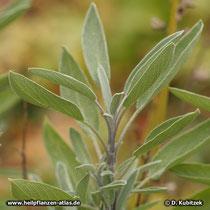 Echter Salbei (Salvia officinalis), Triebspitze