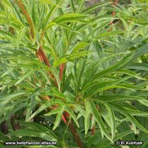 Veitchs Päonie (Paeonia veitchii), Wuchsform