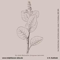 Färberknöterich, Polygonum tinctorium (synonym:  Persicaria tinctoria), historische Grafik.