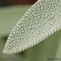 Echter Salbei (Salvia officinalis), junges Blatt, dicht behaart