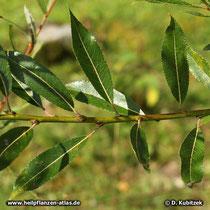 Reif-Weide (Salix daphnoides), glänzend grüne Blattoberseite