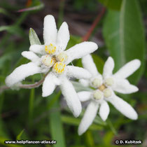 Alpen-Edelweiß (Leontopodium nivale subsp. alpinum)