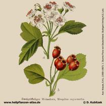 Zweigriffeliger Weißdorn, Crataegus laevigata, Historisches Bild