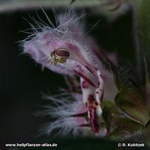 Echtes Herzgespann (Leonurus cardiaca), Blüte