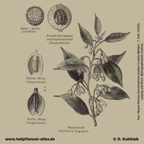 Muskatnussbaum; Myristica fragrans; Historisches Bild