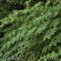 Japanischer Staudenknöterich (Reynoutria japonica) wächst bis zu 3 m hoch.