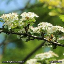 Zweigriffeliger Weißdorn blühender Zweig