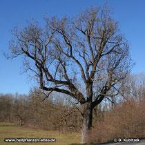 Alte Gewöhnliche Esche (Fraxinus excelsior) Wuchsform