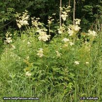 Echtes Mädesüß (Filipendula ulmaria), Wuchsform