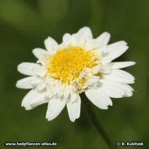 Römische Kamille (Chamaemelum nobile), Blüte (gefüllte Form)