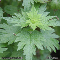 Echtes Herzgespann (Leonurus cardiaca) junge Pflanze