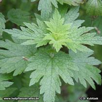 Echtes Herzgespann (Leonurus cardiaca), junge Pflanze