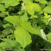 Brombeere (Rubus fruticosus)