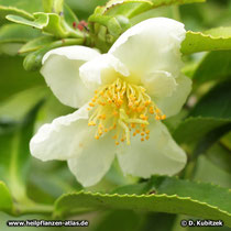 Tee-Strauch (Camellia sinensis), Blüte