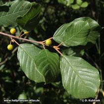Echter Faulbaum (Frangula alnus), Blütter