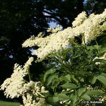 Holunder (Sambucus nigra), Blütenstände