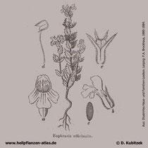 Großer Augentrost (Euphrasia officinalis), historische Grafik