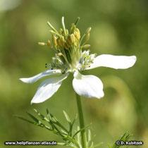 Echter Schwarzkümmel (Nigella sativa), Blüte