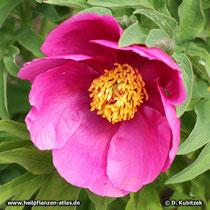 Garten-Pfingstrose (Paeonia officinalis), ungefüllte Form, Blüte