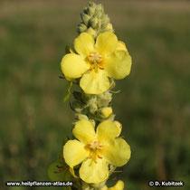 Goßblütige Königskerze (Verbascum densiflorum), Blütenstand