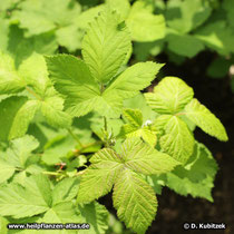 Brombeerblatt (Rubus fruticosus)