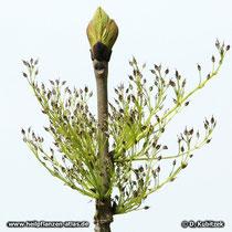 Gewöhnliche Esche (Fraxinus excelsior) Blütenstand
