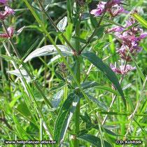 Gewöhnlicher Blutweiderich (Lythrum salicaria), Blätter