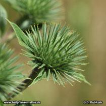 Kleine Klette, Arctium minus, Blütenknospe