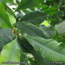 Gewürznelke (Gewürznelkenbaum, Syzygium aromaticum)