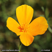 Goldmohn (Eschscholzia californica)