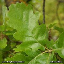 Blattoberseite der Flaum-Eiche (Quercus pubescens).