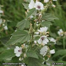 Blühender Echter Eibisch (Althaea officinalis)