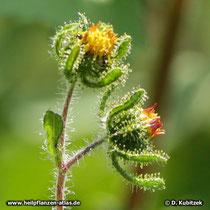 Siegesbeckie (Sigesbeckia orientalis), Blütenstände (Blütenkörbe)