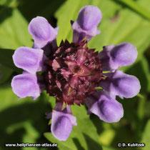 Gewöhnliche Braunelle (Prunella vulgaris), Blütenstand von oben