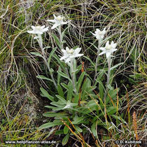 Alpen-Edelweiß (Leontopodium nivale subsp. alpinum), Wuchsform