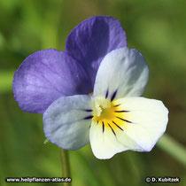 Wildes Stiefmütterchen (Viola tricolor), Blüte