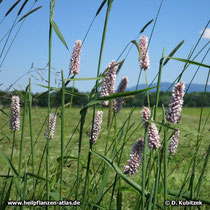 Schlangenwiesen-Knöterich (Bistorta officinalis)