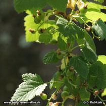 Schwarze Johannisbeere (Ribes nigrum), Zweig mit unreifen Früchten