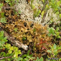 Isländisches Moos (Isländische Flechte) in Pflanzengesellschaft mit Zwergstrauchheiden und anderen Flechten, hier auf rund 2.000 m Höhe in der Region Chamonix/Mont Blanc (Frankreich).