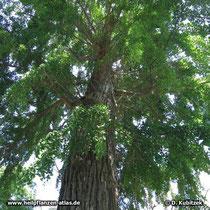 Alter Ginkgobaum (Ginkgo biloba)