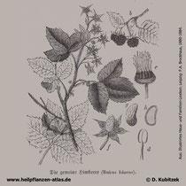 Himbeere (Rubus idaeus), historische Grafik