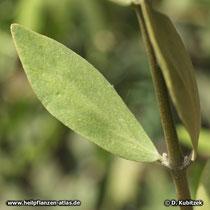 Jojobastrauch (Simmondsia chinensis), Blatt,