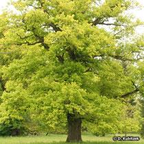 Stiel-Eichen (Quercus robur) können bis zu 40 m hoch werden.