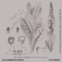Kleinblütige Königskerze, Verbascum thapsus, Historische Grafik