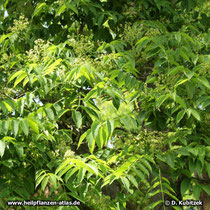 Amur-Korkbaum (Phellodendron amurense) in Blüte