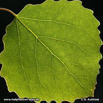 Zitter-Pappel (Populus Tremula), Blatt in der Durchsicht